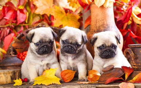 three pugs wallpapers puppies puppy autumn leaves three pug animals pugs