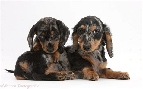 tri color dachshund dogs two tricolour merle dachshund pups photo wp32371