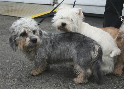 dandie dinmont terrier puppies dandie dinmont terrier pictures posters news and on your pursuit hobbies