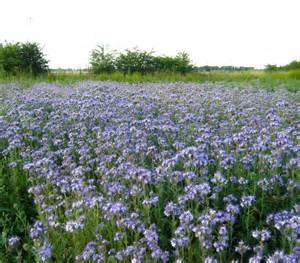 Flowers And Pollinators - organic phacelia e m seed company