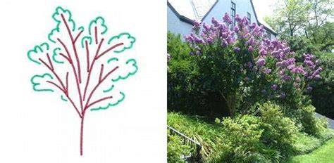 Vase Shaped Tree by Guide To Different Tree Shapes For Your Yard Today S