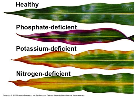 this diagram shows the effects that phosphate potassium and nitrogen deficiency can have on