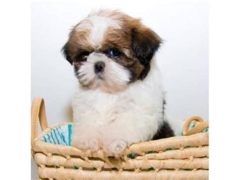 shih tzu breeders in kansas best 25 free puppies for adoption ideas only on adoption papers free pet
