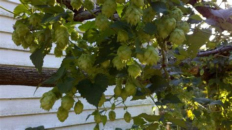 19 best images about nugget hops on gardens