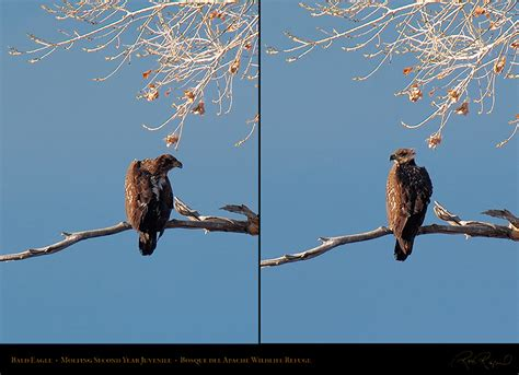 Do Eagles Shed Their Beaks by Bald Eagle Molting Juvenile 3735 3747c Images Frompo