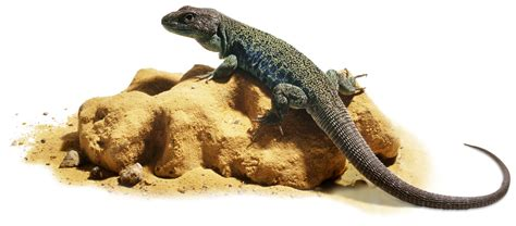lizard out of are lizards cold blooded ectothermic animals dk find out