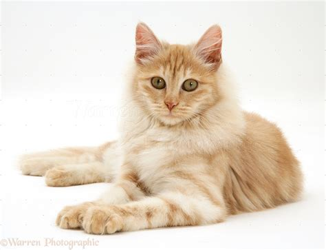 wallpaper bergerak kucing search results for wallpaper kucing lucu bergerak