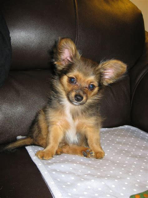 teacup yorkie temperament teacup chorkie www imgkid the image kid has it