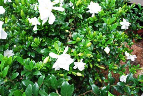Gardenia Wont Bloom And Writing Are Like My Gardenia Bushes