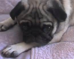 pug skin allergy remedies skin allergies in dogs simple home remedies to try before seeing your vet