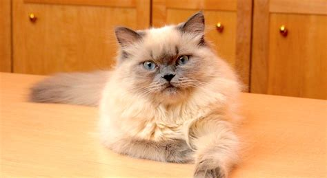 himalayan cats 5 things to about himalayans petful