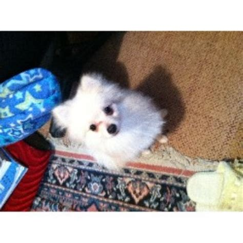 pomeranian puppies sc pomeranian breeders in south carolina freedoglistings breeds picture