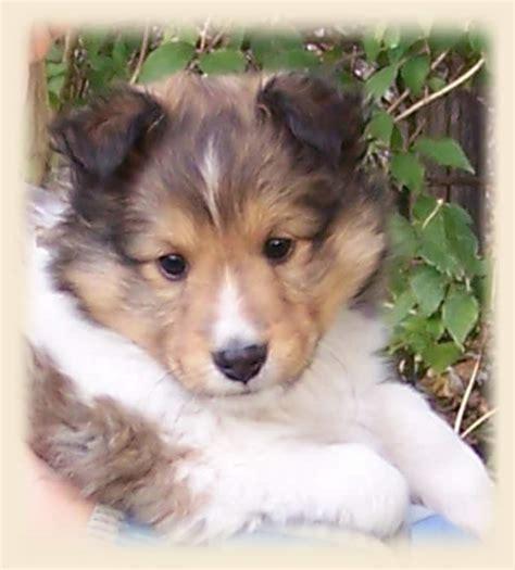 sheltie puppies colorado dogs pets shetland sheepdog sheltie puppies