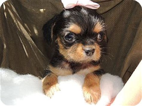 brussels griffon yorkie terrier breed mutts breeds picture
