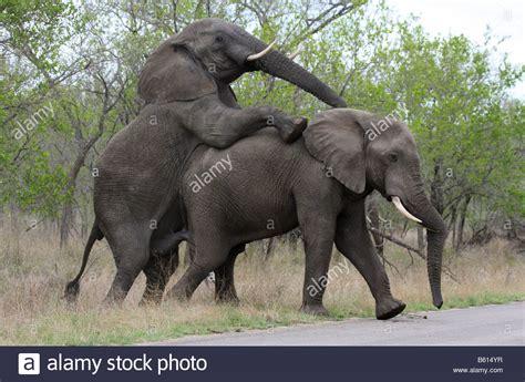 Elephant Matting by Elephants Mating Driverlayer Search Engine