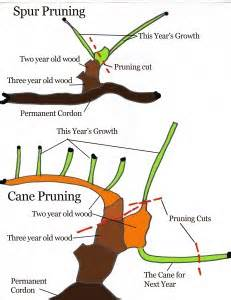 how to prune a grape vine pruning prevents the vine from