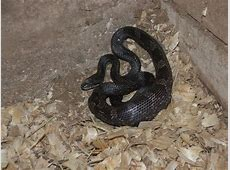 Black Rat Snake Facts and Pictures Range List Python