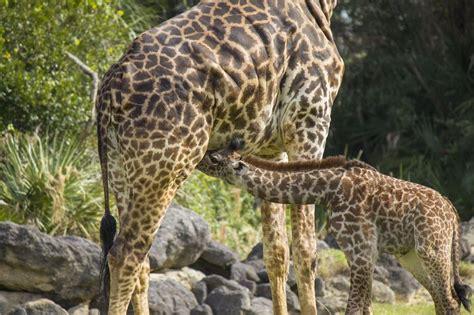 imagenes de jirafas apareandose trabajar en el zoo cuidados de jirafas