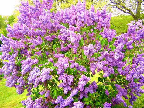 lilac flowering shrubs landscapes plant of the week lilac