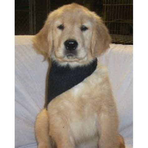 golden retriever puppies nc golden retriever breeders in the usa and canada freedoglistings page 7