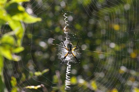 Garden Spider On Web Black And Yellow Garden Spider Lisdola Dfw Wildlife