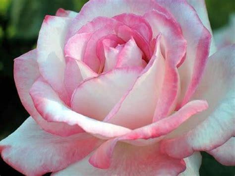 imagenes de flores bonitas fotos de flores bonitas rosas pinterest