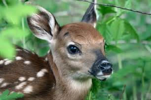 Wildlife Bedding Fast Facts About Fawns From The Field
