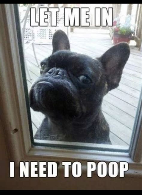 Bulldog Meme - 9 funniest french bulldog memes what the frenchie