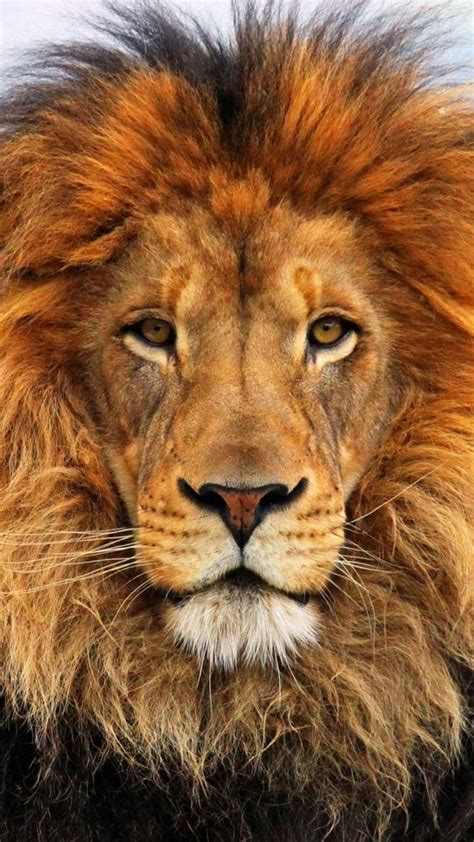 lion wallpaper pinterest 25 best ideas about lions on pinterest lion couple