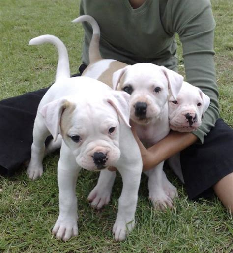 american bulldog puppies pictures pictures of american bulldog puppies for sale images