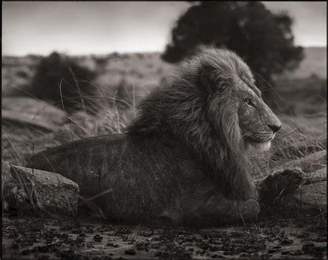 across the ravaged land lion on burned ground fubiz media