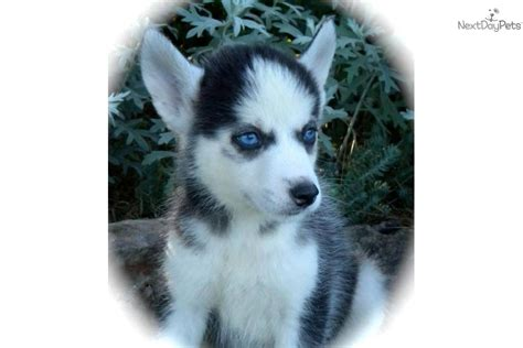 husky puppies for sale in missouri siberian husky puppy for sale near joplin missouri dacd536c 3041