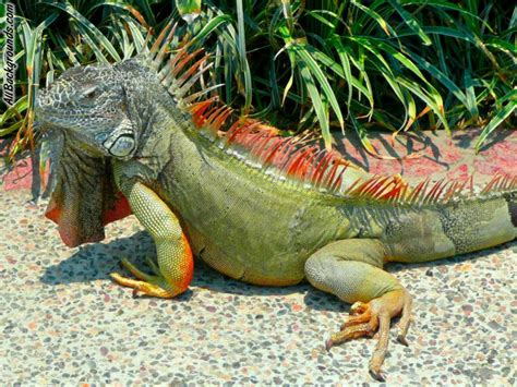 can iguanas change color iguana backgrounds myspace backgrounds