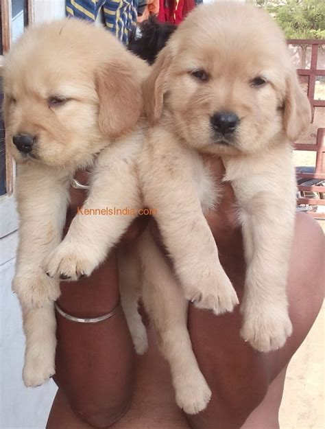 price of golden retriever in rupees show quality golden retrevwr for sale in hyderabad
