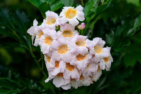china doll flower indoor plants that are beautiful and easy to maintain
