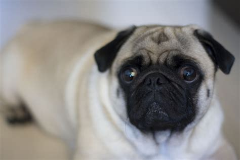 why are pugs so indispensable traits to take care of your pugs