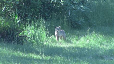 coyote in my backyard coyote in the backyard by mogieg123 on deviantart
