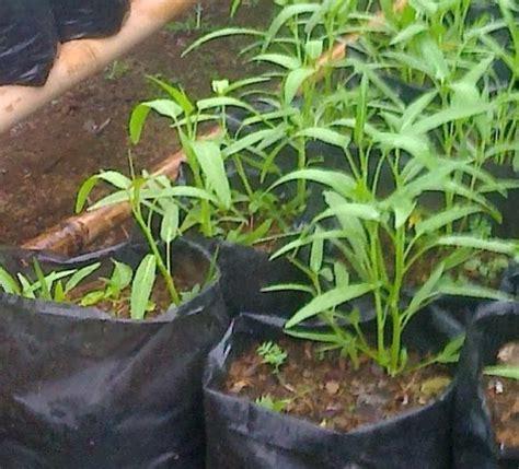 Furadan Untuk Jagung cara menanam budidaya kangkung di polybag pot pertanian