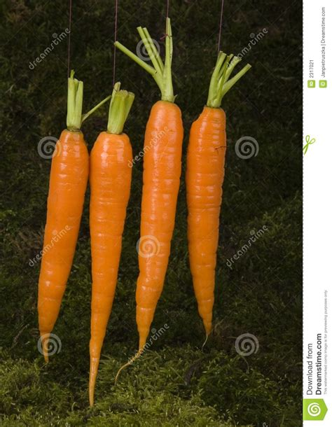 are carrots a root vegetable carrots stock image image 2317021