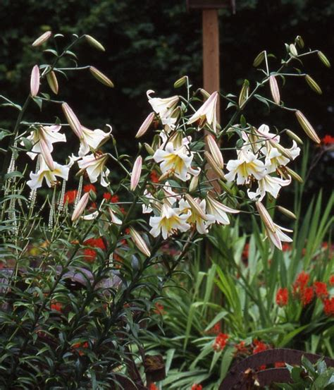 b d lilies garden blog lily review latest to bloom lilium speciosum