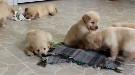 cheap golden retriever puppies for sale in ohio cheapest golden retriever puppies for sale dogs in our