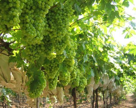 Bibit Benih Seeds Buah Anggur Wine Grape Fruit Common Grape Vine India Ups Grape Exports To Eu