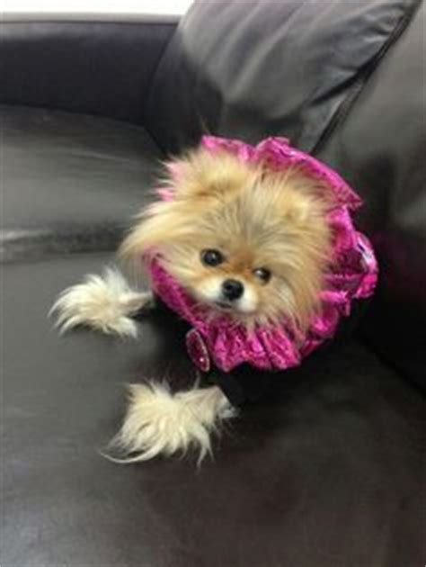 giggy the pomeranian giggy on vanderpump and beverly