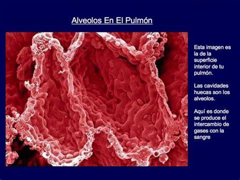 imagenes reales concepto anatomia y funcionamiento de nuestros pulmonesanatomia de