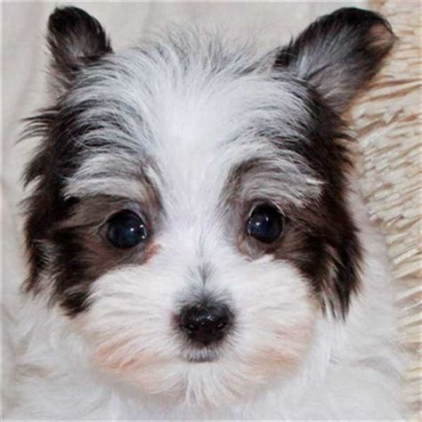 havanese chihuahua mix for sale malchi puppy for sale in boca raton south florida