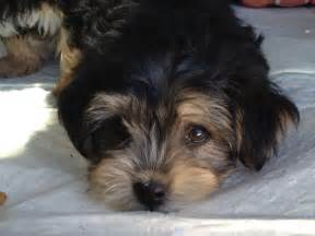 Cute puppy dogs maltese yorkie puppies