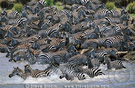 zebra migration pattern burchell s zebras crossing mara river on migration africa