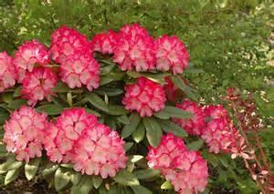 Flowering Shrubs Pictures - fantastic rhododendron oregon state univ landscape plants