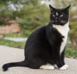 file george a perfect exle of a tuxedo cat jpg