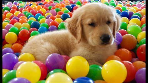 how to bathe a golden retriever puppy s bath 8 week golden retriever puppy troline pit